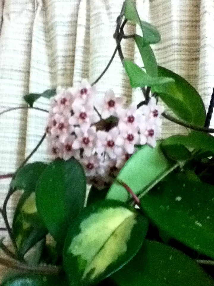 Beautiful Hoya Rubra in bloom!