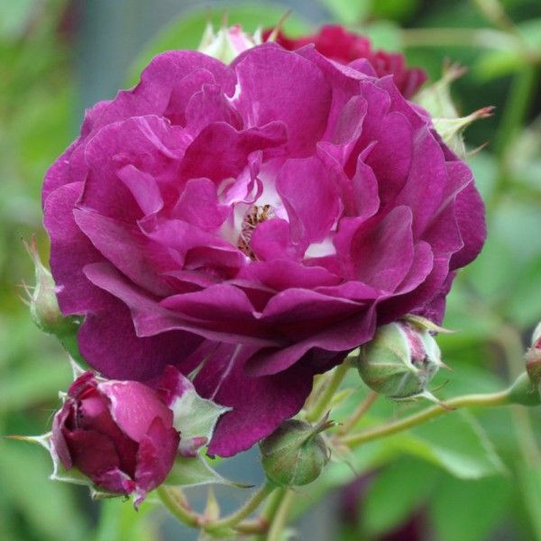 Pflanzen-Kölle Kletterrose 'Rosengarten Zweibrücken®'. Robuste Kletterrose mit auffälliger Farbe, intensivem Duft und gesundem, glänzendem Laub.