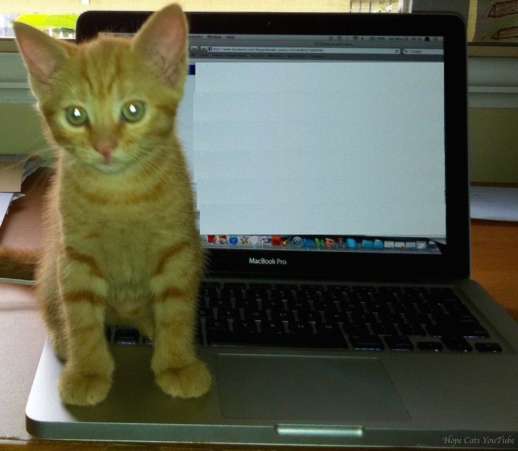 https://flic.kr/p/Dw3fKg | Autumn the Ginger Ninja helping out in the office | Just sitting on my Mac keyboard after a hard day at work #cute #ginger #kitten #Autumn #TheGingerNinja