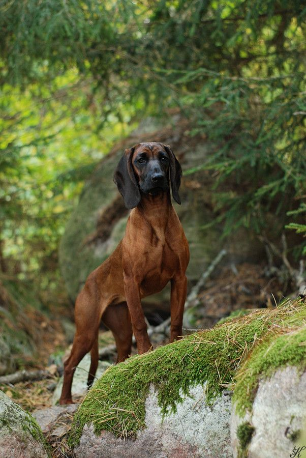 """Bavarian Mountain Hound (German = """"Bayerischer Gebirgsschweißhund"""") is a breed of dog from Germany. It is a scent hound and has been used in Germany since the Middle Ages to trail wounded game. It is a cross between the Bavarian Hound and the Hanover Hound."""
