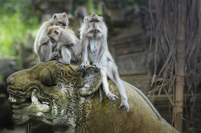 Simians in the Monkey Forest in Ubud, Bali, Indonesia
