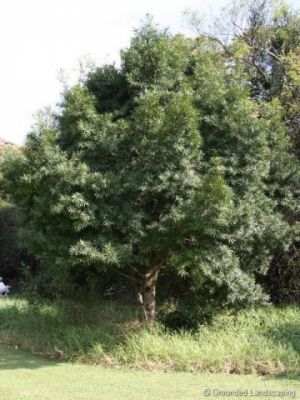 Podocarpus-henkelii The Yellowwoods have become popular trees in Gauteng, and are especially common along pavements and sidewalks. In Johannesburg some beautiful specimens can be found on Katherine drive just as you turn off from Marlboro drive towards Sandton. The Podocarpus is indigenous, evergreen, and very sturdy. It is a slower grower than most other species, but if you have the patience it will be a worthwhile addition to your garden.