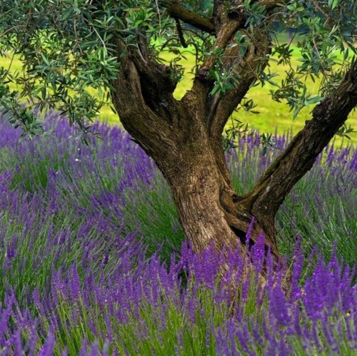 Beautiful old olive tree with lavender growing beneath it. Beautiful