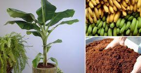 Cómo+cultivar+bananas+en+tu+hogar