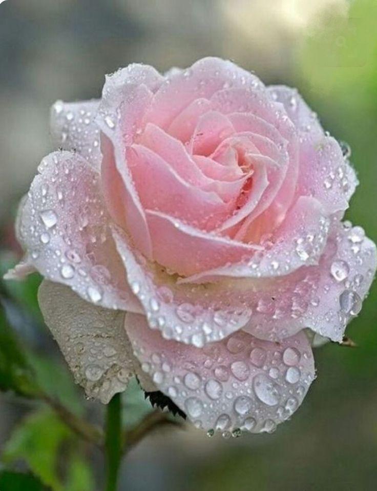 свежих цветы роза сам очень красивые фото кит