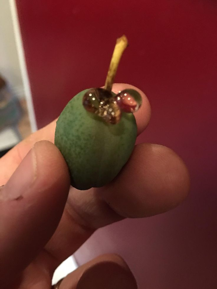 Is my plum tree unwell? Found several with this hard jewel like stuff. I think it's a Japanese plum tree. It's old and haggard but the few animal survivors are tasty each fall. #gardening #garden #DIY #home #flowers #roses #nature #landscaping #horticulture