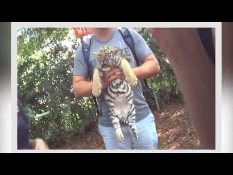 The Dark, Deadly Side of Tiger Cub Photo-Ops