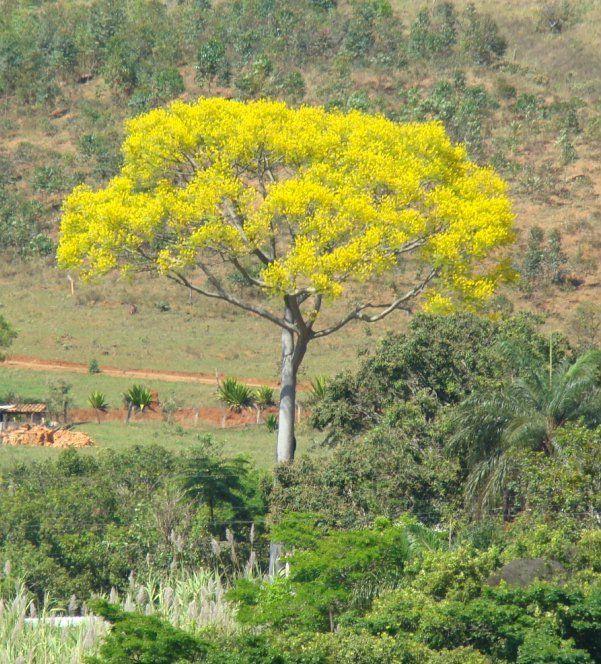 Brasil - Guapuruvu Schizolobium parahyba