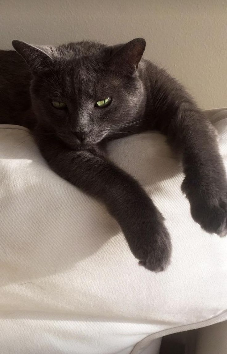 My friend's cat looks just like a baby Bagheera (the panther from Jungle Book)