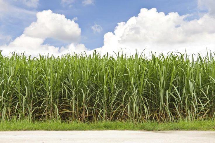 Cane vs. Beet Sugar Nutrition