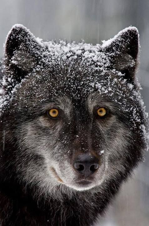 black wolf with yellow eyes - photo #14