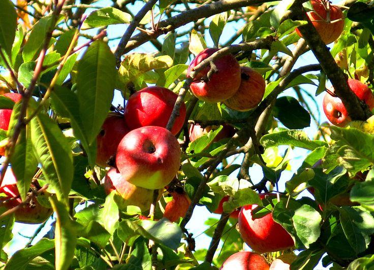 Logan Brae Apple Orchard, Shipley / Blackheath, NSW