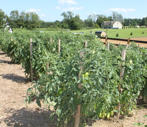 Growing Tomatoes 7 Simple Secrets To Grow Your Best Crop 400 x 300