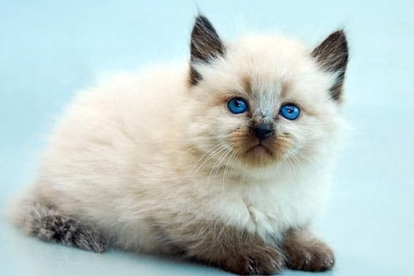 Top 7 Hypoallergenic Cat Breeds For Pet Allergies Hypoallergenic Cats Cat Breeds Hypoallergenic Balinese Cat