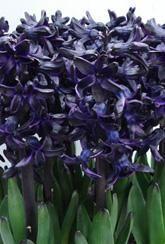 Hyacinth Dark Dimension- Bulbs