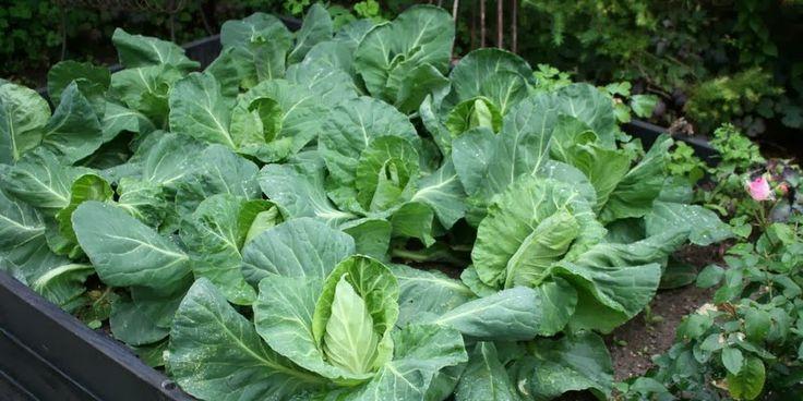 SPIDSKÅL - Cabbage