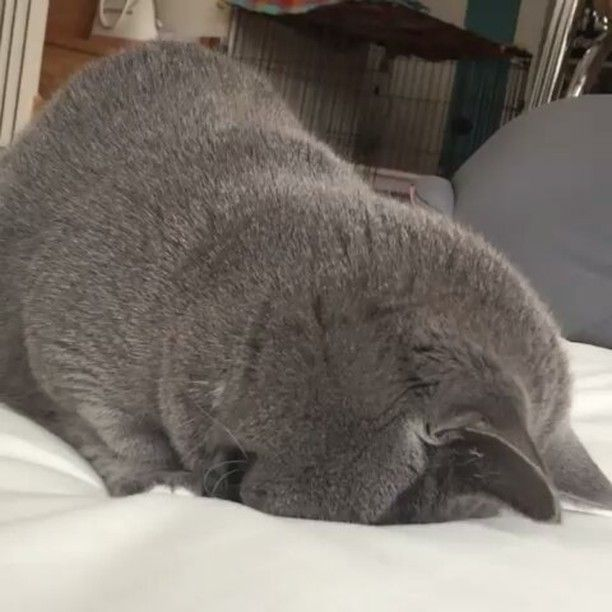 📹 via : @omame_munchkin Partner : @igadorable_animals ...................................................... #cat #cats #catsofinstagram #catstagram #kedi #katze #cats_of_instagram #Кот #taylorswift #котэ #котик #кошка #chat #neko #gato #gatto #meow #calico #kawaii #nature #pet #animal #instacat #mycat #catlover #猫 #ねこ #ネコ #huffpostgram #고양이