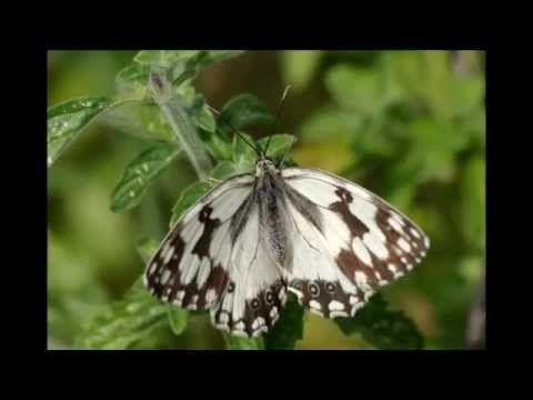 Las mariposas son símbolos místicos de distintas clases, - YouTube