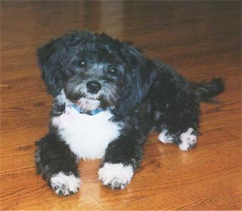Shih-Poo Dog Breed Information and Pictures