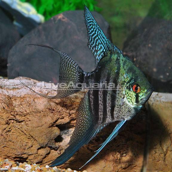 Exceptional 4 Captive Bred Zebra Lace Angelfish Pterophyllum Scalare Aquariumfishtanks Angel Fish Tank Angel Fish Aquarium Fish Tank