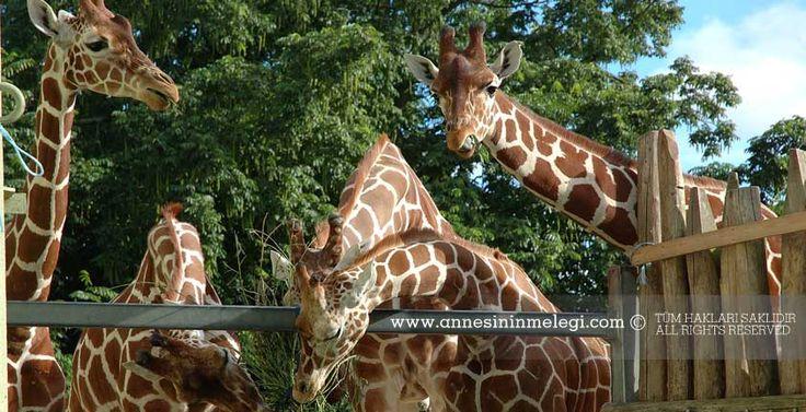 Çocuklarımız için ilginç gerçekler: Zürafalar ses çıkarmaz..