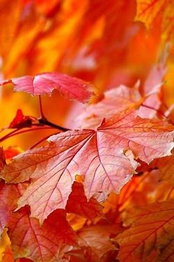 Colors of AutumnOrange, Fall Leaves, Fall Colors, Autumn Leaves, Red Leaves, Favorite Seasons, Autumn Beautiful, Autumn Colors, Colours