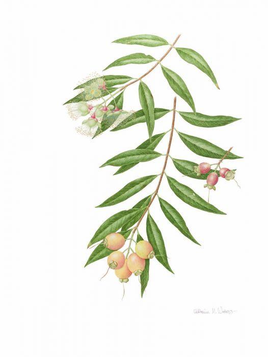 Syzygium jambos (Rose Apple)