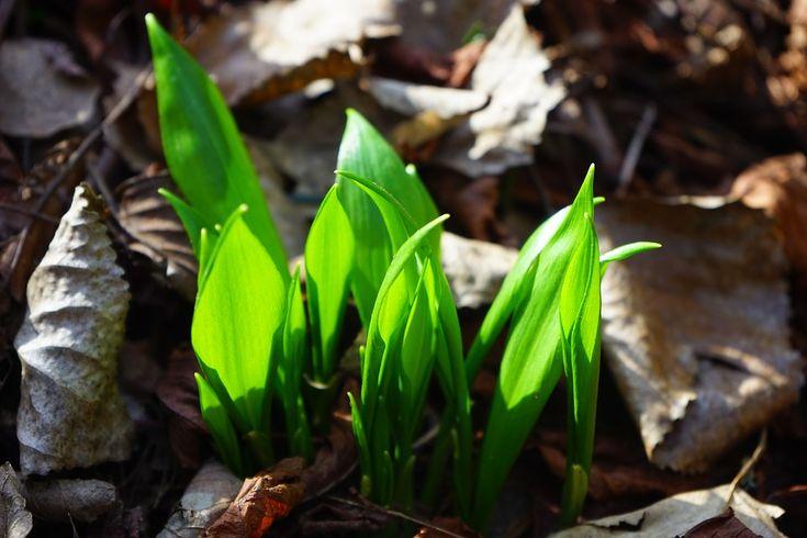 Mnoho zvás již jistě zná, kromě klasického česneku, také bylinku, které se říká podobně, totiž česnek medvědí. Někdy můžete slyšet i pojmenování česnek divoký. Něco málo o medvědím česneku Bylinka se řadí mezi vytrvalé rostliny a původ můžete hledat vzápadní a střední Evropě. Velice rychle se šíří vlesních patrech a je nápadná svými dlouhými zelenými …