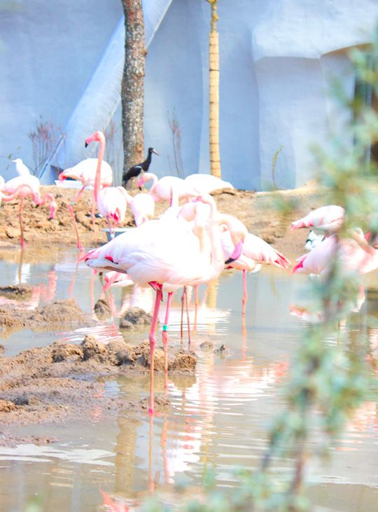 flamant-rose-zoo-vincennes