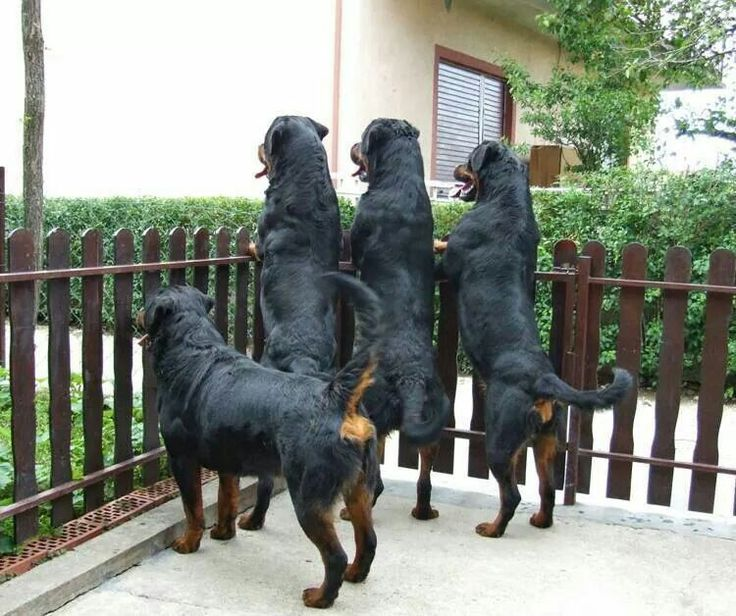 #Rottweilers. What is going there, guys?