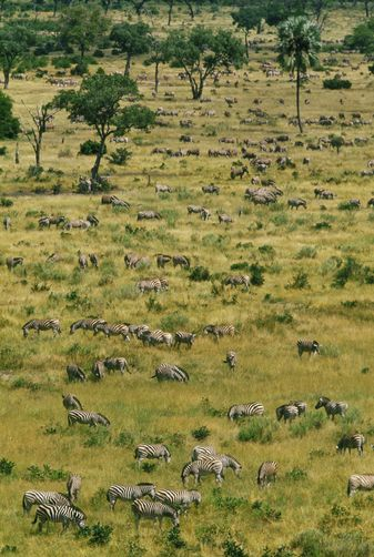 Zebras grazing, Okavango Delta, Botswana