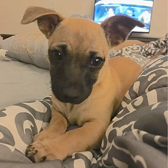 ADOPTED:  Pug/Chihuahua Mix Puppy for adoption in San Diego, California - Meringue