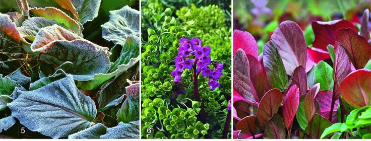 5. pokryte szronem liści Bergenia - spektakularne.  Czerwone i zielone łopatki rośliny ożywiają czarne i białe kwiatowe ogrody zimowe.  6 EROICA uważana za jedną z najlepszych odmian.  Na tle żółto-zielony mlecz SEGUIER fioletowo-czerwone kwiaty tej Bergenia wyglądać szczególnie korzystne.  Wraz z nadejściem chłodów liście zmieniają kolor na czerwony.  7. OESCHBERG również jesienią i zimą liście przyciągnąć uwagę jaskrawych kolorów i wiosennych kwiatów zdobią roślinę z różowymi kwiatami.