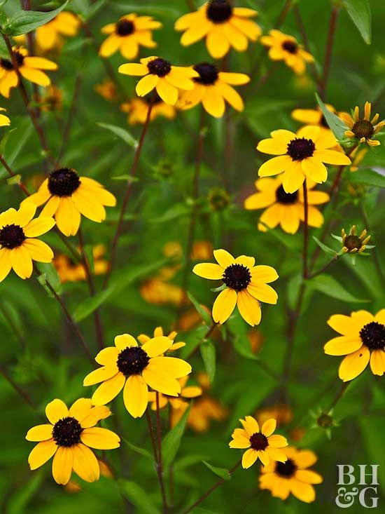 Golden black-eyed Susan is a summer staple for sunny borders. 'Goldsturm' is the most commonly grown variety. It spreads quickly, but not invasively, to fill a planting bed with long-lasting color. Name: Rudbeckia 'Goldstrum' Zones: 3-11