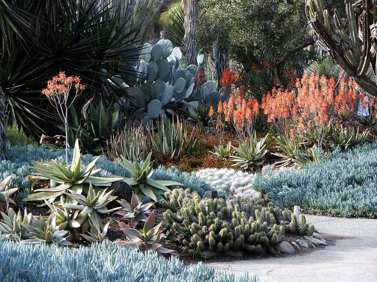 Aloe & blue stick succulents, Huntington Library Desert Garden after and during rain, February 2009 – Various cactus and succulents not included in specific plant garden sets - aloe blooms - blue ground cover - prickly pear