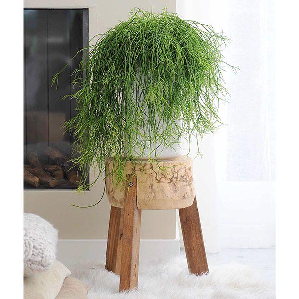 Buy mistletoe cactus (syn Rhipsalis cassutha ) Rhipsalis baccifera: Delivery by Waitrose Garden in association with Crocus