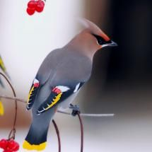 This is what my bird tattoo is of...  Bohemian Waxwing