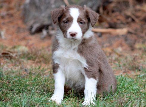 Border Collie puppy for sale in MOUNT JOY, PA. ADN-52551 on PuppyFinder.com Gender: Male. Age: 6 Weeks Old