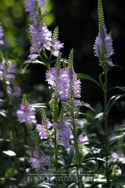 Physostegia virginiana, syn. P. speciosa flowers planted in partial shade