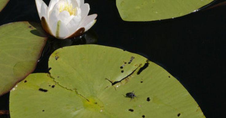 Sobre las chinches acuáticas . Según la Universidad A&M de Texas, el nombre científico de la chinche acuática gigante es Lethoscerus sp., Las chinches acuáticas también son llamadas chinches de la luz eléctrica, debido a la atracción que sienten por los focos. Estos insectos parecen una mezcla entre una cucaracha y una mantis religiosa, indica la Universidade de Kentucky. Las ...