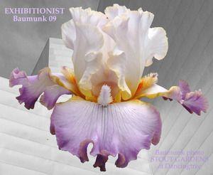 Exhibitionist: Flowers Gardens, Favorite Flowers, Exhibitionist Irises, Iris Flowers, Iris Gardens, Beards Irises, Real Iris, Beards Iriss, Iris Exhibitionist
