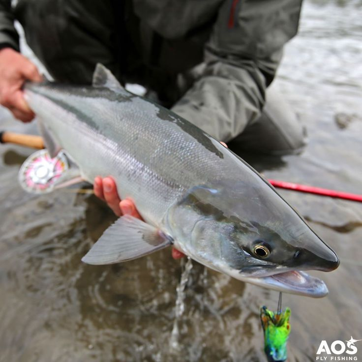 Sockeye  pure skeena chrome @skeenaspeyfishing! Find more details about this amazing fly fishing trip on our travel page! #aosfishing #flyfishingmakesyouhappy #flyfishing #fliegenfischen #pescamosca #fluefiske #graz #styria #steiermark #austria #onlineshop #picoftheday #photooftheday #lovefishing #catchoftheday #catchandrelease #onthefly #simmsfishing #speycasting #skeenariver #skeena #canada #kanada #feelthepull #finatical #sockey @aosfishing @hatchoutdoors @skeenaspeyfishing