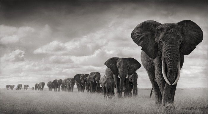 Nick Brandt - Wildlife Photographer - elephants-walking-through-grass