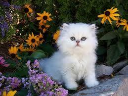 perzsa macska képek - Google keresés