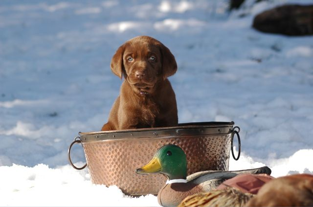 Ready for hunting season: Labrador Retriever, Labs Puppies Cute, Pet Photography, Future Puppies, Chocolate Lab Puppies, Hunt'S Seasons, Chocolate Labs, Cute Pet, Chocolates Labs Puppies