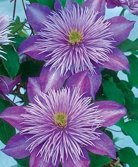 "A double variety with 4-5"" blossoms with a fountain of quill-like petals in the center Blooming begins in late spring, and it reblooms freel..."