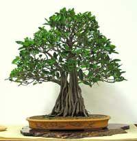 Ficus Rubiginosa - Port Jackson Fig: Jackson Figs, Ficus Bonsai, Humidity, Rubiginosa Bonsai, Ficus Rubiginosa, Just Love, Australian Native Bonsai, Bonsai Beautiful, Aerial Roots