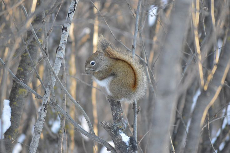 Squirrel poses for the camera on one of the hiking trails throughout the river valley in Edmonton Alberta.