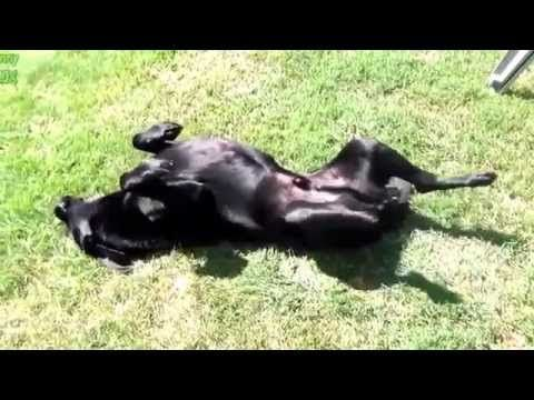 Best Funny - Dogs Acting Strange After Vet Visit Compilation New 2014 -  #dog #dogs #funnydogs #puppy #doglover #animals #animal #pet #cute #pets #animales #tagsforlikes Best Funny – Dogs Acting Strange After Vet Visit Compilation 2014 Funny video, Best Funny Video, Funny Video Dogs, Subcribe for More Funny Video [ Facebook Page [  - #Dogs