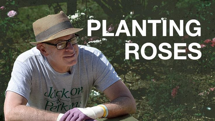 How to Plant Bareroot Roses with Paul Zimmerman. Remember to soak 24-48 hours, amend the soil, bury the bud union, water, and mulch.